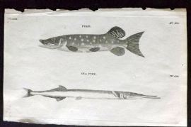 Pennant 1776 Antique Fish Print. Pike, Sea Pike